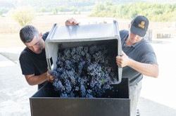 Encuvage des raisins
