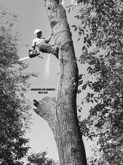 Hazardous Oak Dismantle - West Looe