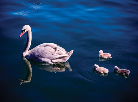 Trumpeter Swan with young swans (Cygnets), Toronto