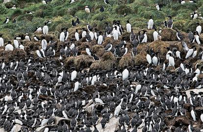 Nesting Atlantic Puffin and Thin Billed Murre, Bonavista, Newfoundland