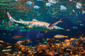 Lookdown, Yellow Tailed Snapper, Sand Tiger shark, Grunt