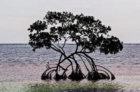 Pelican on a Mangrove tree, Roatan