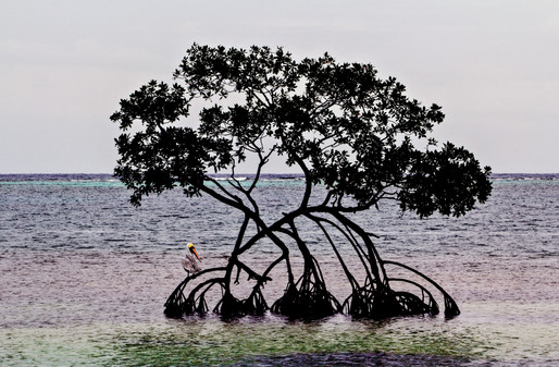 Pelican on a Mangrove tree, Roatan