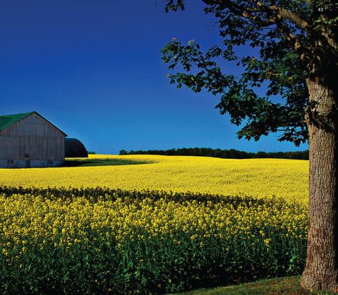 Field of Canola, Ontario