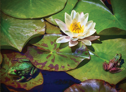 Frogs on Lily Pads