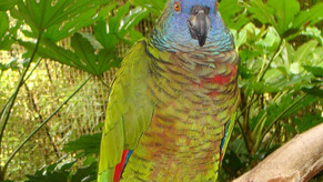 Jersey Zoo bids farewell to its last Saint Lucia parrot