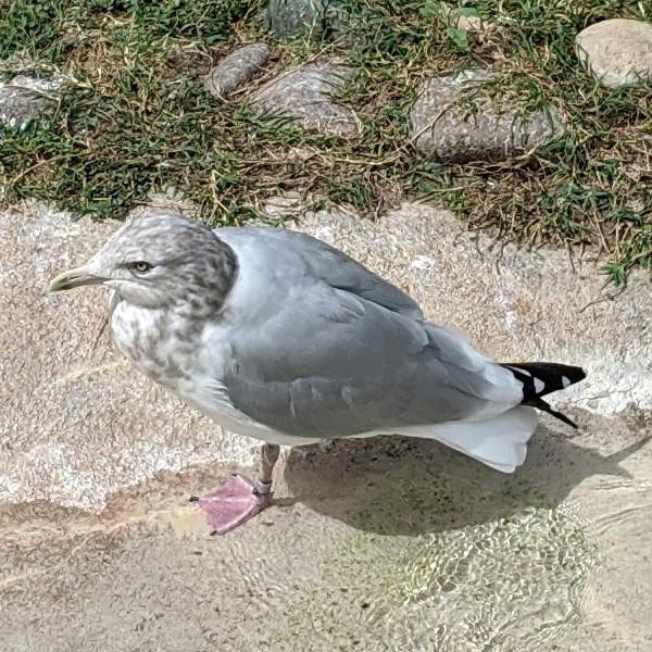 Close up of Herring Gull at Waco Zoo