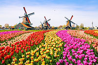 Landscape with tulips, traditional dutch