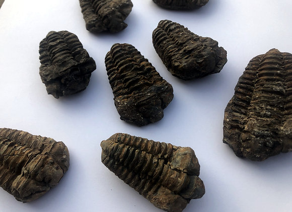 Flexicalymene Trilobite