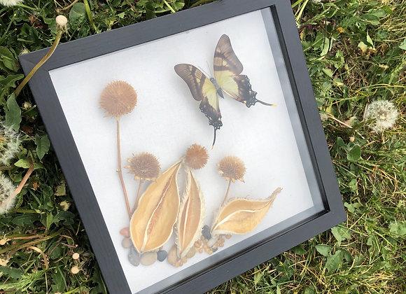 Eurytides Serville Butterfly Specimen Display