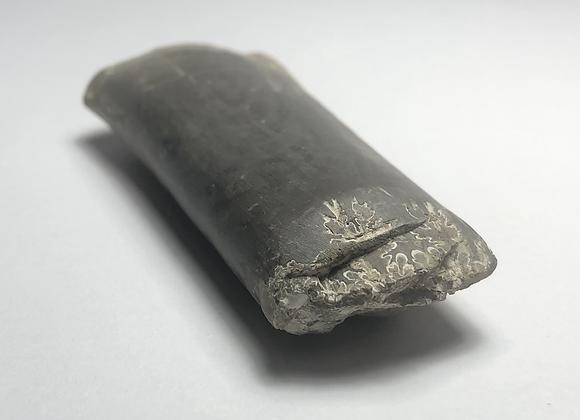 "Baculite Fossil Segment 2 5/8"""