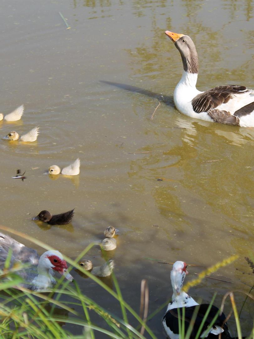 ducks&goosepond.JPG