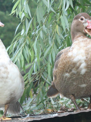 2 ducks close.jpg