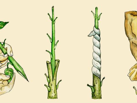 Breve historia de los injertos en plantas