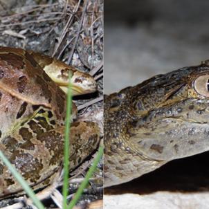 Anfibios y reptiles en el mundo maya