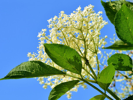 Elder - Berries and Flower: Herb of the Month