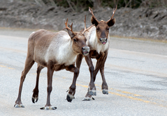 Hooves like snowshoes (Copyright - Richard T Wright)