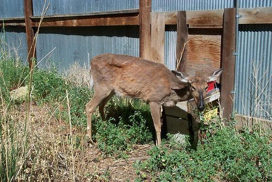 Deer1_tkreeger.jpg