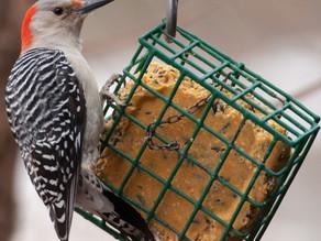 Suet Cake: Birds' Comfort Food