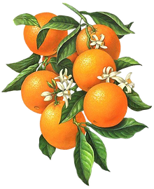 The orange tree.png