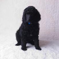 square blue pup 2.jpg