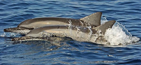 Spinner-dolphin.jpg