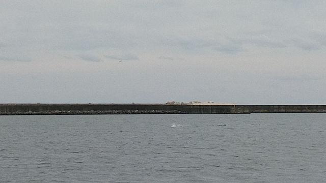 北防波堤付近、イルカの群れが回遊しています。