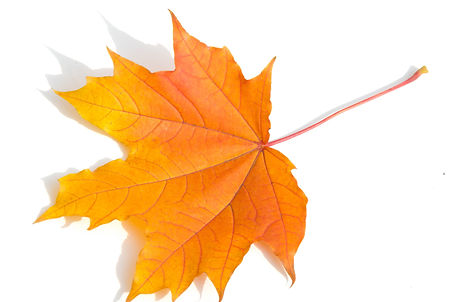 Texture background, pattern. Autumn colorful maple leaves. Maple is a common symbol of str