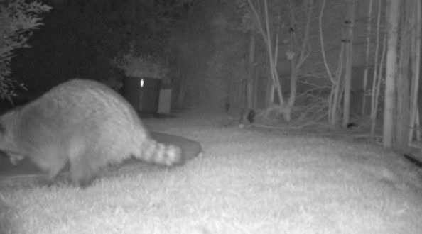 racoon at night video