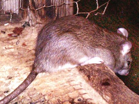 National Rat Day April 4th