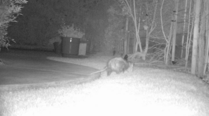 possum at night video