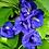Thumbnail: Organic Blue Butterfly Pea Seeds - Clitoria Ternatea