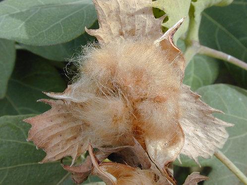 Native Hawaiian Cotton