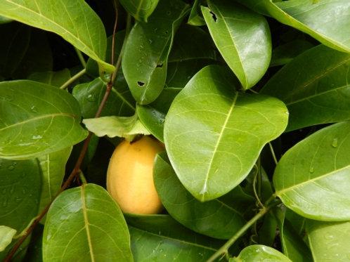 Organic Jamaican Lilikoi Seeds - Passiflora laurifolia Passionfruit