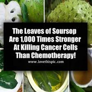 Soursop Tree