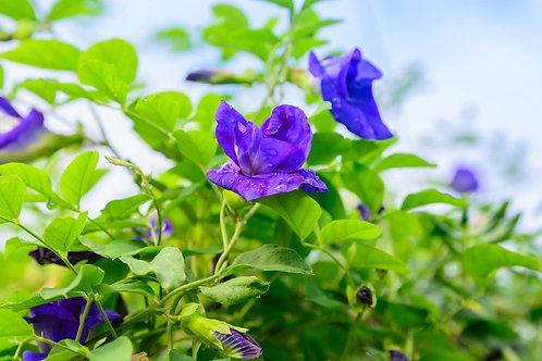 Organic Blue Butterfly Pea Seeds - Clitoria Ternatea