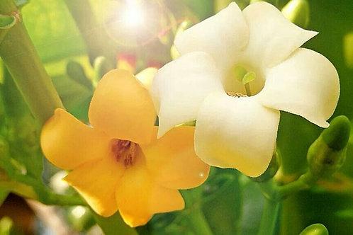Organic Puakenikeni Flower Seeds