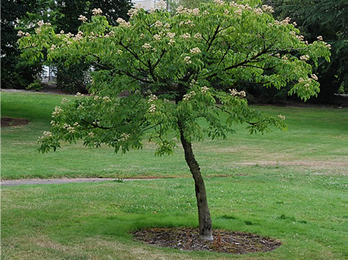 Large Evodia Tree