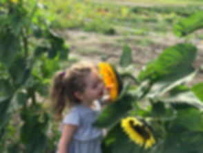 sunflowers maxwells farm.jpg