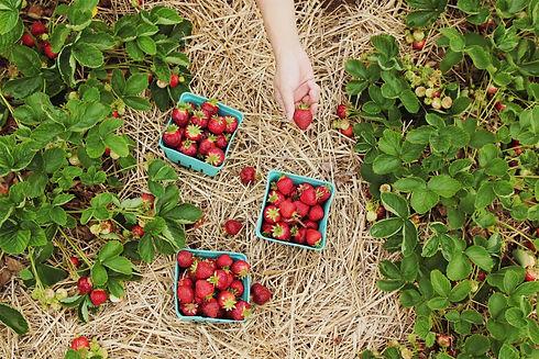 bowman strawberries.jpg