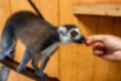 Lewis_Adventure_Farm_Animals_Lemur3 (1).