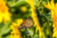 harvest tyme butterfly release.jpg