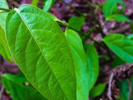 Ayahuasca, planta sagrada