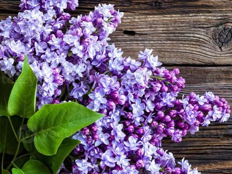 Lilas - plantas mágicas