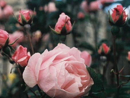 La rosa, flor mágica.