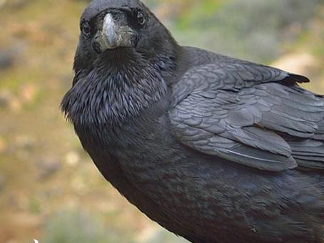 El Cuervo, animal mágico