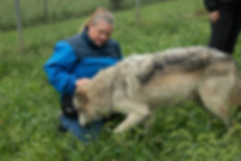 Traning with wolves