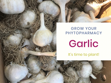 Grow your Phytopharmacy: Garlic!