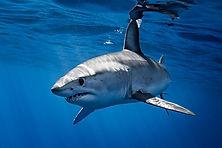 mako_shark_azores.jpg