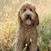 Grace Goldens Goldendoodle Poodle Papa